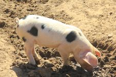 Free Piglet Stock Photos - 20780713