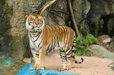 Free Tiger Stock Images - 20780764