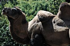 Free Bactrian Camel Stock Image - 20780841