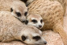 Free Meerkats Stock Photos - 20780843