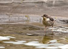 Free A Wet White-throated Dipper Royalty Free Stock Image - 20781126