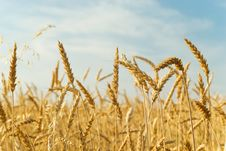 Gold Ears Of Wheat Royalty Free Stock Photography