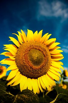 Free Beautiful Bright Yellow Sunflower Stock Photos - 20783173