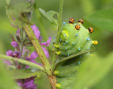 Free Cecropia Moth Caterpillar Stock Image - 20784641