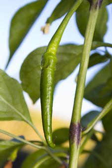 Free Spicey Chilli Growing On The Plant Royalty Free Stock Image - 20786456