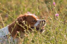 Free Hunt Dog Stock Images - 20786634