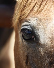 Free Horse`s Eye Stock Photography - 20786792