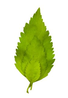 Free Leaves Royalty Free Stock Photography - 20786827