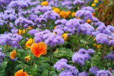Free Beautiful Flowers Pansies Against Dark Blue Colors Royalty Free Stock Image - 20787336