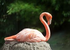 Free Flamingo Stock Photography - 20788162