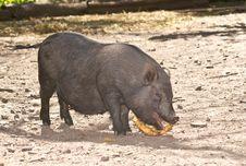 Free Vietnamese Pig Royalty Free Stock Photos - 20788828