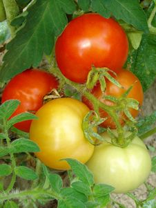 Free Bunch Of Tomatoes Stock Photos - 20788933