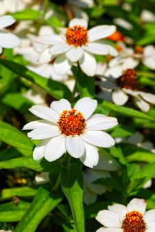 Free Zinnia Royalty Free Stock Photo - 20789515