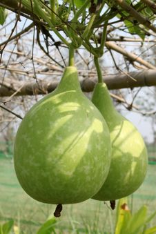 Free Gourds Royalty Free Stock Image - 20789806