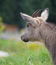 Free Chinese Goral Royalty Free Stock Photography - 20791957