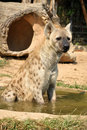 Free Spotted Hyena Royalty Free Stock Images - 20793099
