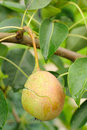 Free Cracked Pear On Tree Branch Stock Photography - 20798352
