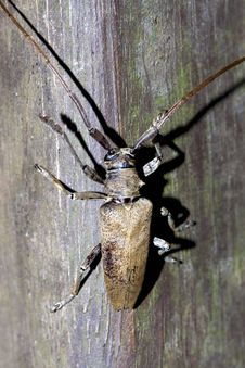 Free Long-horned Beetle Royalty Free Stock Photo - 20790145