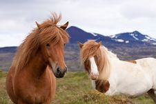 Free Two Icelandic Horses In A Field Stock Photo - 20790180