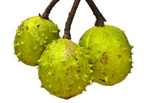 Free Three Conkers In Green Shells Royalty Free Stock Photos - 20790678