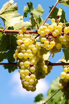Free Grape Stock Image - 20790961