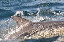 Free Common Dolphin Dorsal Fin Stock Photos - 20791403