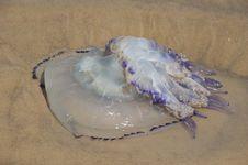 Free Jellyfish Royalty Free Stock Image - 20791596