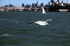 Free Seagull Of San Francisco Royalty Free Stock Photos - 20792438