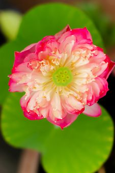 Free Blooming Pink Lotus Stock Photography - 20792572