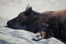 Buffalo Sleeping Royalty Free Stock Photography