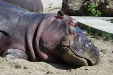 Free Hippo Sleeps Royalty Free Stock Photo - 20793015