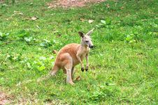 Free Kangaroo Royalty Free Stock Images - 20793379