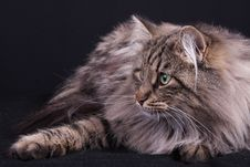 Free Portrait Of Norwegian Female Cat Royalty Free Stock Photography - 20793667