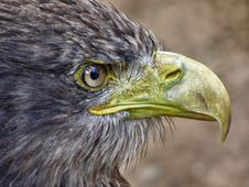 Free Sea Eagle Portrait Stock Image - 20794061