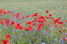 Free Landscape With Poppies And Cornflowers. Stock Photos - 20794943