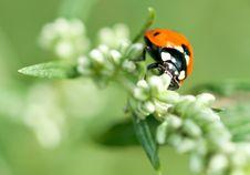 Ladybug In The Grass Stock Photos