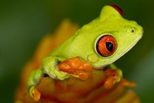 Free Red Eyed Tree Frog Stock Images - 20797954