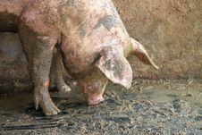 Free Pig Stock Image - 20798111