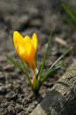 Free Yellow Crocus Royalty Free Stock Photos - 2087508