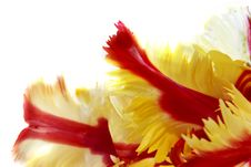 Free Red And Yellow Tulip Stock Photography - 2080962