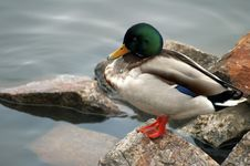 Free Finnish Duck Stock Images - 2080984