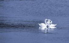 Free Three White Swans Royalty Free Stock Photo - 2082015