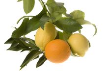 Free Orange With Lemon On Branch Stock Image - 2082131