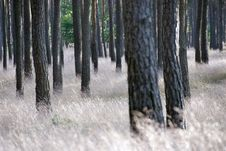 Free Pine Forest Stock Images - 2082554
