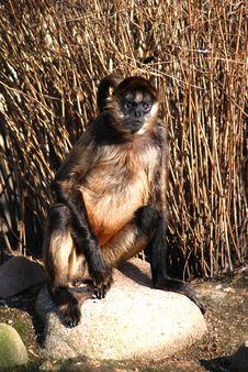 Free Angry Ape Royalty Free Stock Photos - 2082848