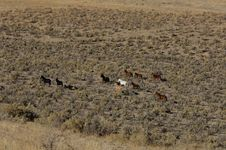 Wild Horses Running Through Sagebrush Royalty Free Stock Photo