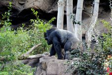 Free Silverback Gorilla Stock Photography - 2084482