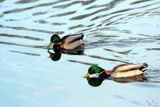 Free Two Ducks Royalty Free Stock Photo - 2086325