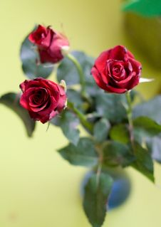 Free The Present Session, Bouquet Of Three Roses Royalty Free Stock Images - 2089569