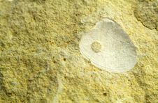 Free Fossil Shell Predates Stock Photography - 2089582